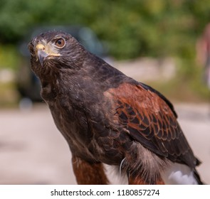 Harris's Hawk Close-up