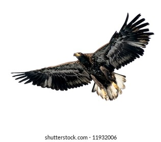 Harris's Hawk isolated on white