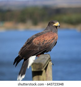 Harris's Hawk, also known as Bay-winged Hawk or Dusky Hawk, perched on wooden fence with a Scottish loch in the background
