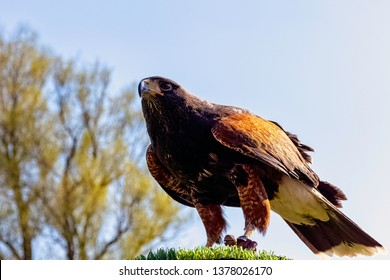 Harris's hawk (Parabuteo unicinctus) formerly known as the bay-winged or dusky hawk