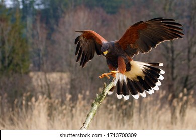 The Harris's Hawk (Parabuteo unicinctus) formerly known as the Bay-Winged Hawk or Dusky Hawk Flying.Hawk lands on a dry branch.