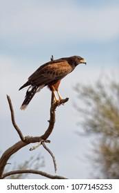 A Harris's Hawk perched on a tree branch near Tucson, AZ