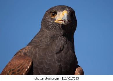 Harris's Hawk - Sonora Desert Arizona - Southwestern Predator