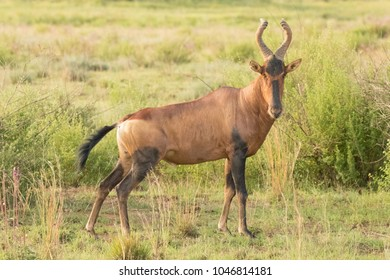 Hartebeest ( Alcelaphus Buselaphus) in the savanna looking at the camera, Welgevonden, South Africa.