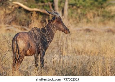 Hartebeest , antelope