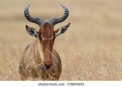 Hartebeest antelope, Serengeti National Park, Tanzania.