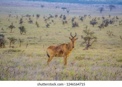 Hartebeest on dry African savanna landscape