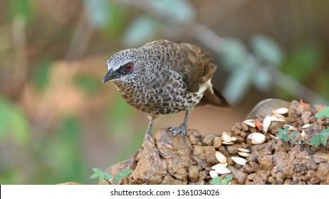 Hartlaub's Babbler, Turdoides hartlaubii