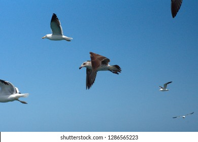 Hartlaub's gull (Chroicocephalus hartlaubii) and giant petrel in flight in Kleinbaai, outside Gansbaai, South Africa