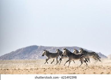 Hartmaan's Mountain Zebra in Namibia.