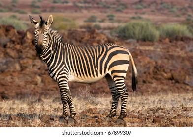 Hartmann Zebra in Palmwag concession, Damaraland, Namibia