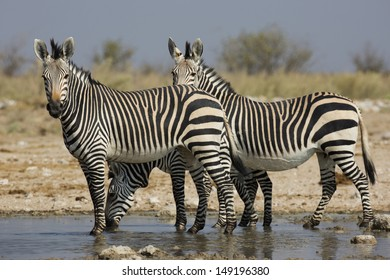 Hartmann's mountain zebras, Namibia