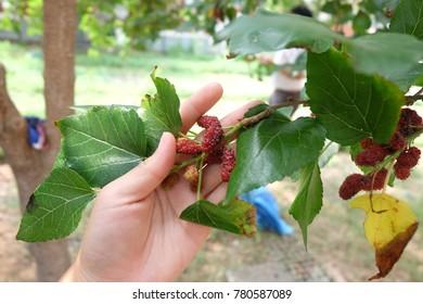 Harvast mulberry  by myself