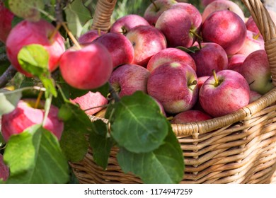 Harvest of the apples in the basket in early morning in the garden, agriculture and food concept