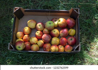 Harvest of apples in the pasteboard box. It is located on a green grass. Close-up.
