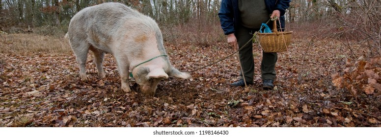 Harvest of black truffles with the help of a pig in Perigord, France