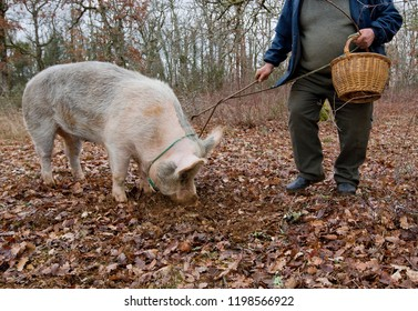 Harvest of black truffles with the help of a pig in Lalbenque, France