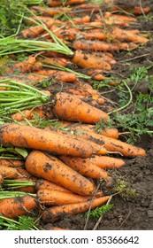 harvest of carrots in field