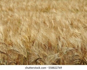 The harvest of cereals seems to be of good quality for this year and already it is in time to be harvested.