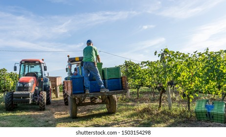 The harvest in the Chianti vineyards in Tuscany, Italy, with a beautiful morning light