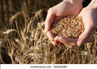 Harvest, close up of woman's hands holding wheat grains