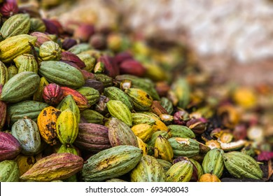 Harvest of cocoa pods from Ambanja, Madagascar