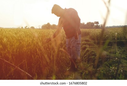 Harvest concept. Full body shot of an Indian or asian man in the wheat field with copy space