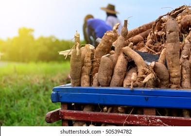 Harvest or dig Root Cassava of floor in Farm