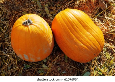 Harvest in a field of pumpkin Shoot for two fresh