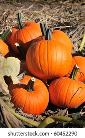 harvest in a field of pumpkins in early fall