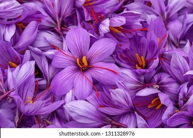 """Harvest Flowers of saffron after collection. Crocus sativus, commonly known as the """"saffron crocus"""".Handful."""