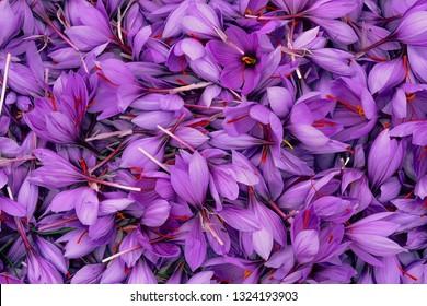 Harvest Flowers of saffron after collection. Crocus sativus, commonly known as the saffron crocus.Handful.