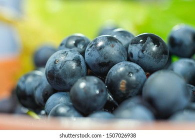 harvest fresh blue isabella grapes,