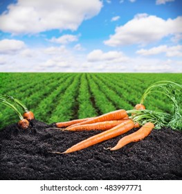 Harvest fresh carrots on the ground on a background of field