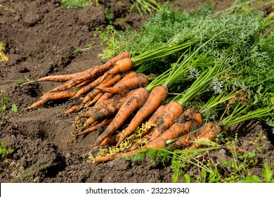 Harvest fresh organic carrots on the ground