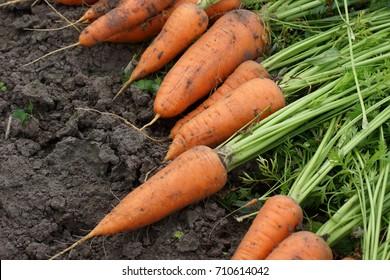 Harvest fresh organic carrots on the ground.Farm seasonal work. Close-up.