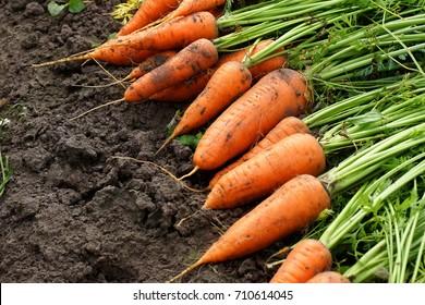 Harvest fresh organic carrots on the ground.Farm seasonal work.