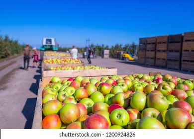 The harvest of fresh ripe red apples just collected from the trees are folded into large wooden pallet containers. A sunny autumn day in farmer's orchards. Production capacity of a orchards farm.