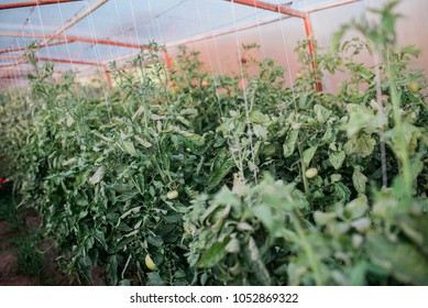 Harvest of fresh tomatoes from ecological and domestic breeding. Bio nutrition and health.
