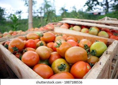 harvest fresh tomatoes in the garden