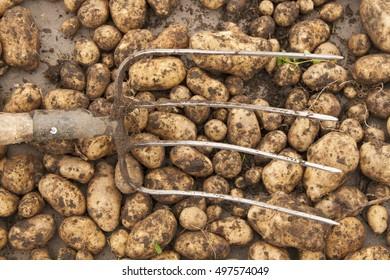 Harvest. Freshly dug potatoes and the pitchforks.