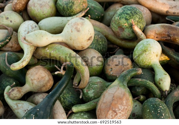 Harvest of gourds straight from the field