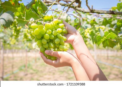 Harvest grapes. View of vineyard with bunches of ripe grapes.