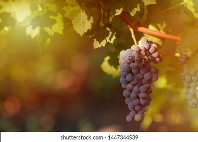 harvest of green and blue grapes.  fields vineyards ripen grapes for wine