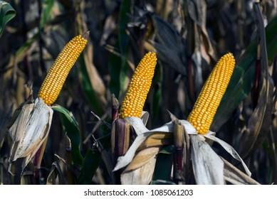 Harvest of hybrids of corn