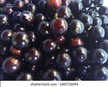 Harvest of jabuticaba typical fruit of Brazil