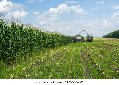 harvest of juicy corn silage by a combine harvester and transportation by trucks, for laying on animal feed