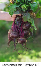 Harvest. A large bunch of beets with tops in a male hand. Agriculture concept.