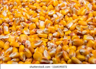 Harvest maize. Corn grain. Natural food. Suitable for background
