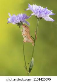 Harvest mice climbing on a purple flowers